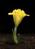 Gelbe Iris, die aus braunem Boden heraus wächst Lizenzfreie Stockfotografie