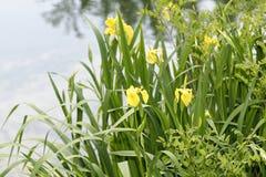 gelbe Iris in einer Wiese Stockbild
