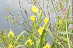 gelbe Iris in einer Wiese Lizenzfreie Stockbilder