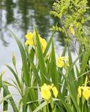 gelbe Iris in einer Wiese Lizenzfreies Stockfoto