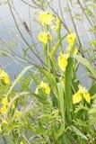 gelbe Iris in einer Wiese Stockfoto