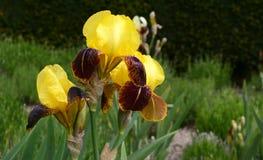Gelbe Iris Flowers Lizenzfreie Stockfotografie