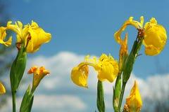 Gelbe Iris gegen den Himmel Stockfotografie