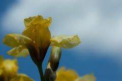 Gelbe Iris gegen einen hellen blauen Himmel Lizenzfreie Stockfotografie