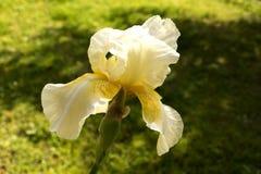 Gelbe Iris germanica Lizenzfreies Stockbild