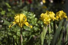 Gelbe Iris - heller Frühling blüht im Garten für die Landschaftsgestaltung Lizenzfreies Stockbild