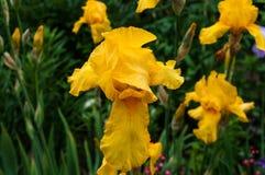 Gelbe Iris im Garten Stockbild