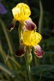 Gelbe Iris Iridaceae Lizenzfreie Stockfotografie