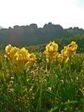 Gelbe Iris Iridaceae-Blumen auf einem Klippenhintergrund Stockfotografie
