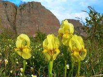 Gelbe Iris Iridaceae-Blumen auf einem Klippenhintergrund Lizenzfreie Stockbilder
