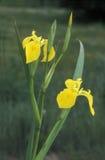 Gelbe Iris, Iris pseudachorus Stockbild