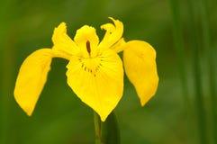 Gelbe Iris (Iris pseudacorus) Stockfoto