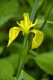 Gelbe Iris Iris pseudacorus Lizenzfreies Stockfoto