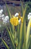 Gelbe Iris Iris pseudacorus Lizenzfreies Stockbild