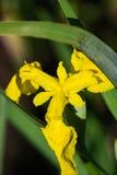 Gelbe Iris - Iris pseudacorus Stockbild
