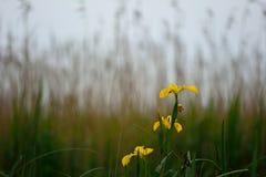 Gelbe Iris (Iris pseudacorus) in der Blume vor Schilfen Stockbild