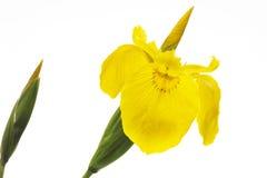 Gelbe Iris (Iris pseudacorus), Nahaufnahme Stockfotografie