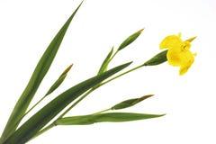 Gelbe Iris (Iris pseudacorus), Nahaufnahme Stockfoto