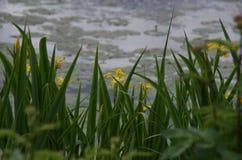 Gelbe Iris ist blühend Lizenzfreie Stockfotografie
