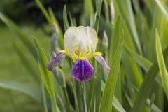 Gelbe Iris Liliac in voller Blüte Stockbild