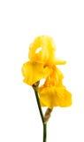 Gelbe Iris lokalisiert Lizenzfreies Stockbild