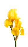 Gelbe Iris lokalisiert Stockfoto