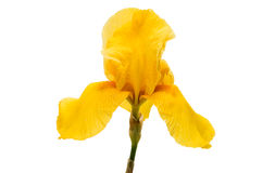 Gelbe Iris lokalisiert Stockbild