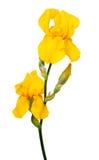 Gelbe Iris lokalisiert auf weißem backround Stockfoto