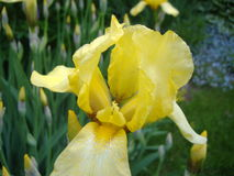 Gelbe Iris in meinem Garten Lizenzfreie Stockbilder