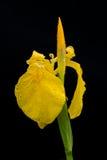 Gelbe Iris mit etwas Wasser fällt nach dem Regen Stockbilder