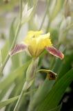 Gelbe Iris mit Rot Stockfotos