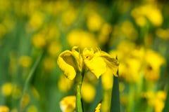 Gelbe Iris mit selctive Fokus Lizenzfreie Stockbilder