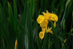 Gelbe Iris pseudacorus Lizenzfreies Stockfoto