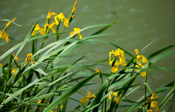 Gelbe Iris pseudacorus Lizenzfreie Stockbilder