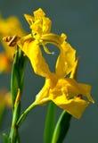 Gelbe Iris pseudacorus Lizenzfreie Stockfotos