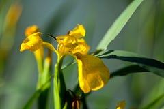Gelbe Iris pseudacorus Stockfoto