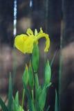 Gelbe Iris pseudacorus blüht im Stadtpark Stockfoto