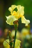 Gelbe Iris tectorum Stockfoto