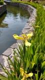Gelbe Iris u. x28; Standort: u. x22; Das Village& x22; Baturraden, Banyumas - Jawa Tengah - Indonesien Stockfotos