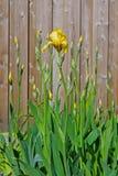 Gelbe Iris und Knospen mit Blättern Stockfoto