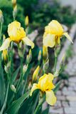 Gelbe Iris wächst im Garten Stockbild