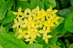 Gelbe ixora Blume Lizenzfreies Stockfoto