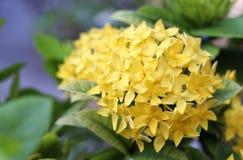 Gelbe ixora Blume stockfotos