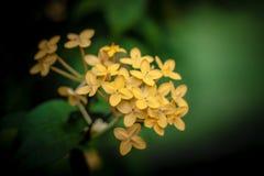 Gelbe Ixora Blumen Lizenzfreies Stockfoto