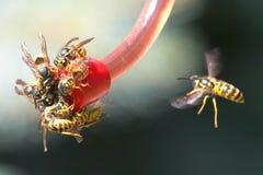 Gelbe Jacken-Bienen Stockfotografie