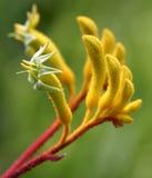 Gelbe Känguru-Tatze Stockbild