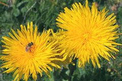 Gelbe Köpfe (Hypochoeris uniflora) Stockfotos