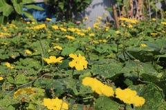 Gelbe Kürbisblumen stockbild