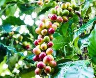 Gelbe Kaffeebohne auf Kaffeebaum Lizenzfreie Stockfotos