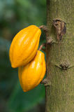 Gelbe Kakaofrüchte auf dem Baum Stockfoto